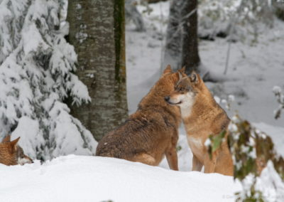 Vlci v národním parku